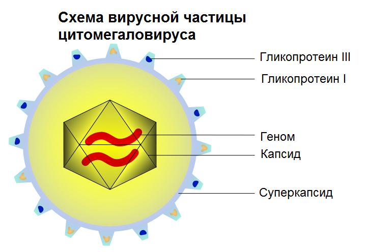 Герпесвирус 5 типа — цитомегаловирус